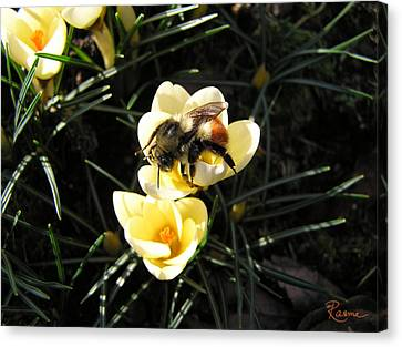 Crocus Gold Canvas Print