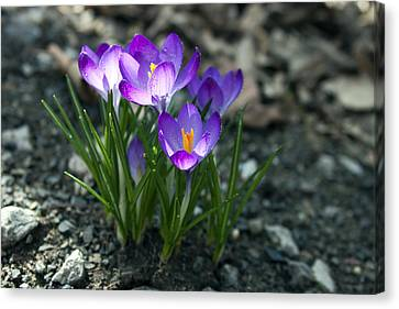 Crocus In Bloom #2 Canvas Print by Jeff Severson