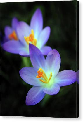 Canvas Print featuring the photograph Crocus In Bloom by Jessica Jenney
