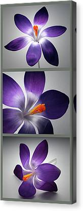 Crocus Triptych. Canvas Print by Terence Davis