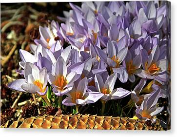 Crocuses Serenade Canvas Print by Ed  Riche
