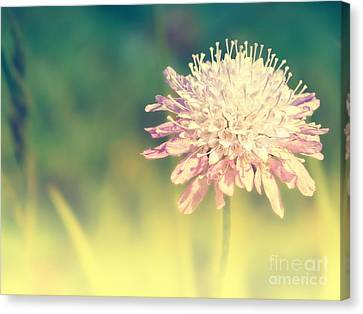 Pincushion Flower Canvas Print by Angela Doelling AD DESIGN Photo and PhotoArt