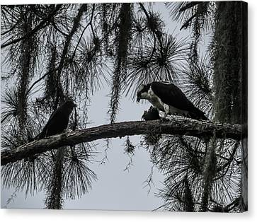 Crow And Osprey Canvas Print by Zina Stromberg