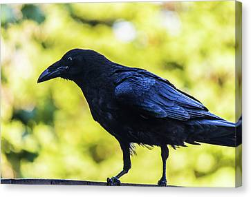 Canvas Print featuring the photograph Crow Perched by Jonny D