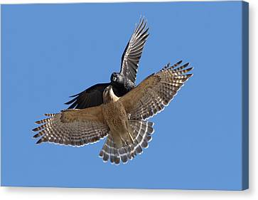 Canvas Print featuring the photograph Crow Vs Hawk by Mircea Costina Photography