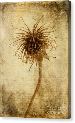 Crown Of Thorns Canvas Print by John Edwards