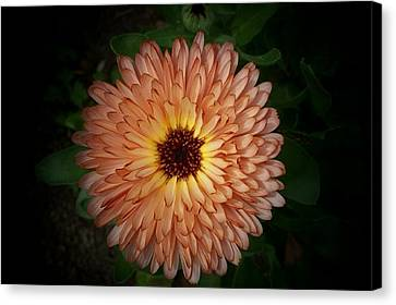 Crysanthimum Canvas Print