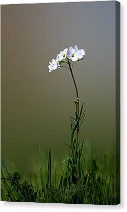 Cuckoo Flower Canvas Print by Ian Hufton