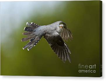 Cuckoo Flying Canvas Print by Steen Drozd Lund