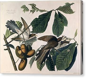 Cuckoo Canvas Print by John James Audubon