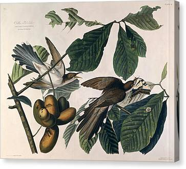 Cuckoo Canvas Print by John James Audubon