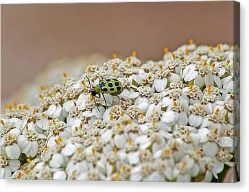 Cucumber Beetle Canvas Print by Jay Billings