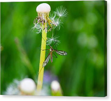 Ideas Infectious Canvas Print - Culex Mosquito by Daniela Simona Temneanu
