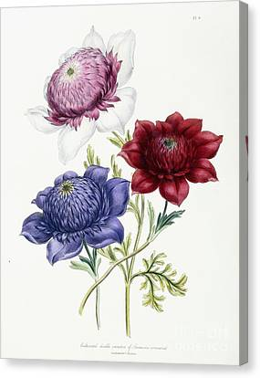 Anenome Canvas Print - Cultivated Double Varieties Of Anemone Coronarial by Jane Loudon