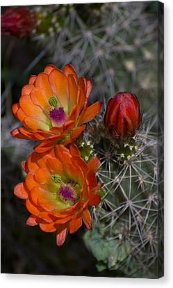 Cupric Cup Cactus Flowers Canvas Print