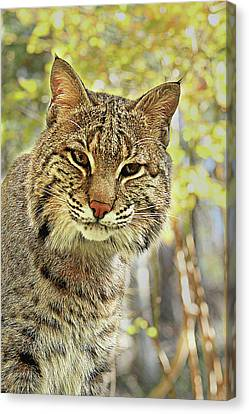 Canvas Print featuring the photograph Curiosity The Bobcat by Jessica Brawley