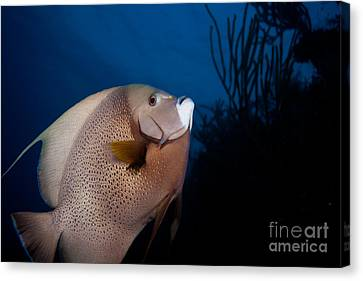 Curious Angelfish Canvas Print by Chris Horne