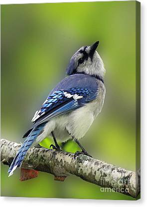 Curious Blue Jay Canvas Print by Inspired Nature Photography Fine Art Photography