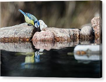 Curious Blue Tit Canvas Print by Torbjorn Swenelius