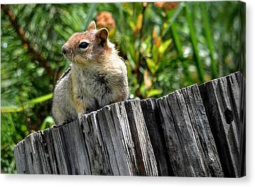Curious Chipmunk Canvas Print