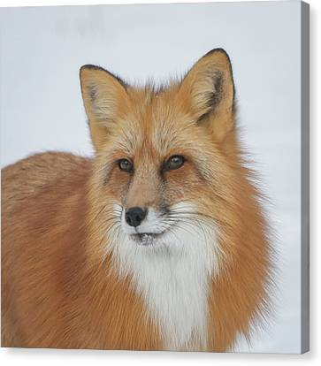 Curious Fox Canvas Print by Jack Bell