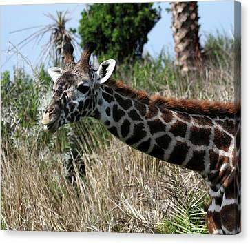 Curious Giraffe Canvas Print