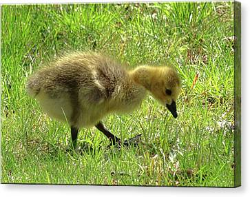 Curious Gosling Canvas Print by Mikki Cucuzzo