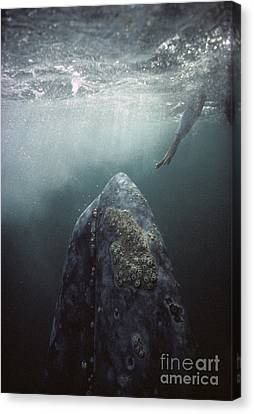 Marine Mammals Canvas Print - Curious Gray Whale And Tourist by Tui De Roy