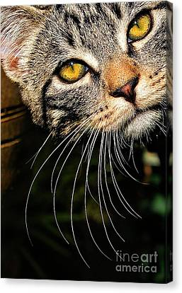Curious Kitten Canvas Print