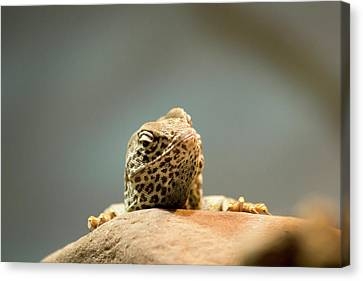 Curious Lizard Canvas Print