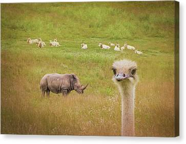 Curious Ostrich And White Rhino Canvas Print