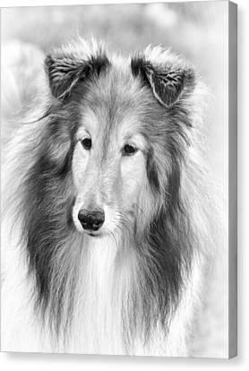 Curious Sheltie Canvas Print by Pat Eisenberger