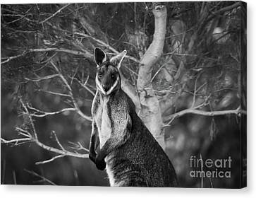 Curious Wallaby 2 Canvas Print by Naomi Burgess