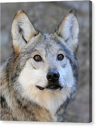 Curious Wolf Canvas Print by Elaine Malott