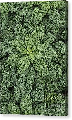 Curly Kale Canvas Print by Tim Gainey