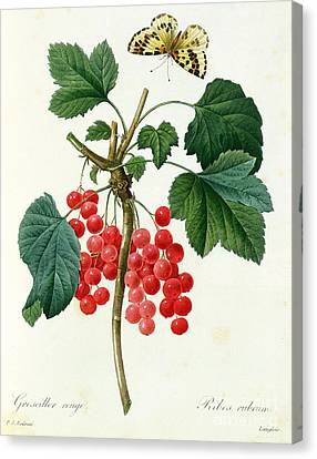 Currants  Red Canvas Print by Pierre Joseph Redoute