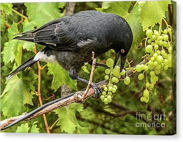 Currawong On A Vine Canvas Print