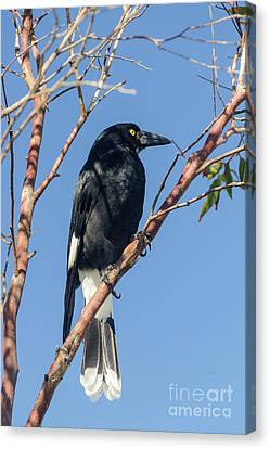 Currawong Canvas Print by Werner Padarin