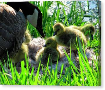 Cute And Fuzzy - Take 3 Canvas Print by Scott Hovind