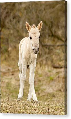 Cute Baby Horse Canvas Print by Roeselien Raimond