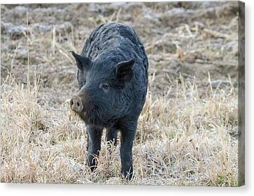 Canvas Print featuring the photograph Cute Black Pig by James BO Insogna