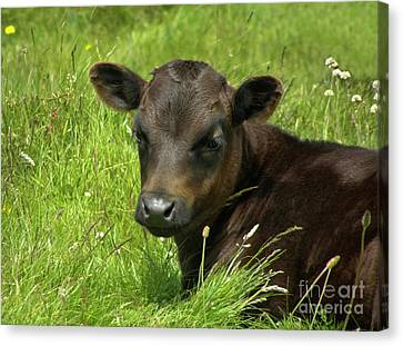Cute Cow Canvas Print