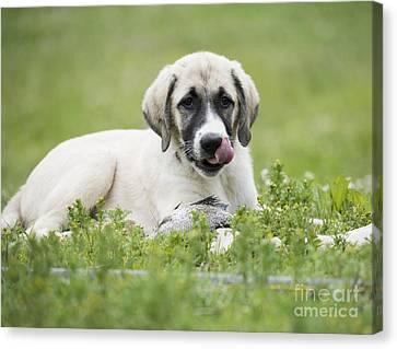 Anatolian Shepherd Puppy Canvas Print by Juli Scalzi