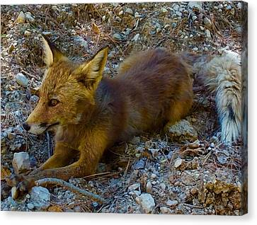 Canvas Print featuring the photograph Cute Fox Friend  by Colette V Hera Guggenheim