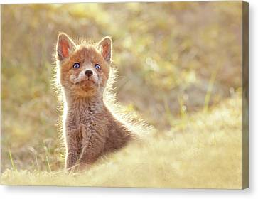 Cute Overload Series - Baby Fox Looking Up Canvas Print