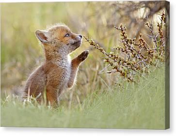 Cute Overload Series - Curious Fox Kit Canvas Print by Roeselien Raimond