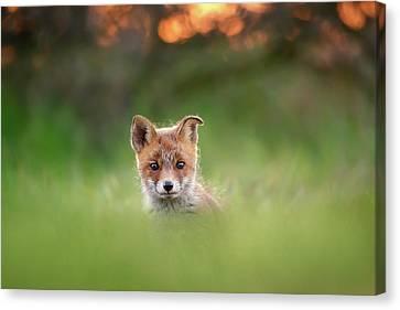 Cute Overload Series - Cute Baby Fox Canvas Print
