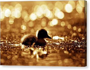 Cute Overload Series - Duckling Reflections Canvas Print