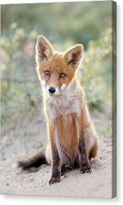 Cute Overload Series - Hungry Eyes Canvas Print