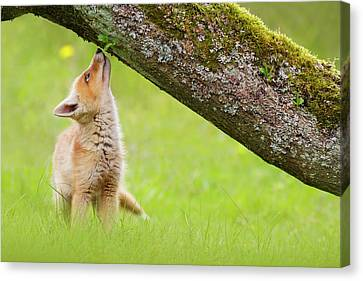 Cute Overload Series - Sniffing Fox Kit Canvas Print